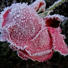 Richard Cummings - Frozen Rose
