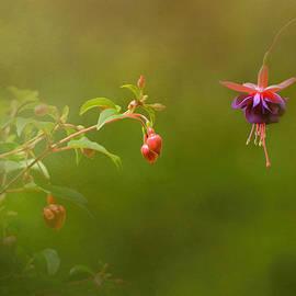 Jai Johnson - Fuchsia Buds and Bloom