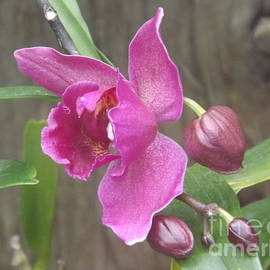 Lingfai Leung - Fuchsia Orchid