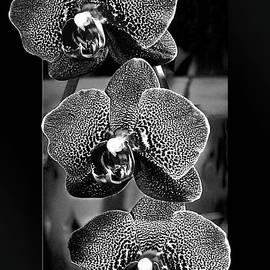 Phyllis Denton - Three Orchids OOF B/W