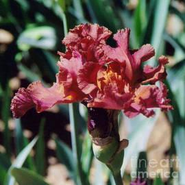 Ruth  Housley - Full Bloom Iris