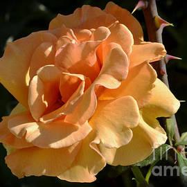 Debby Pueschel - Full Bloom Peach Rose Year Two