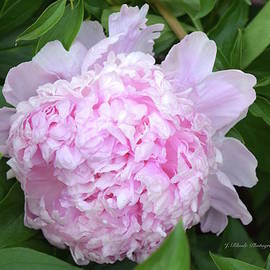 Jeannie Rhode Photography - Full Bloom Pink Peony