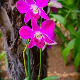 Sue Melvin - Fuschia Thai Orchid