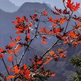 NaturesPix - Gamble Oak in Crimson Fall Splendor