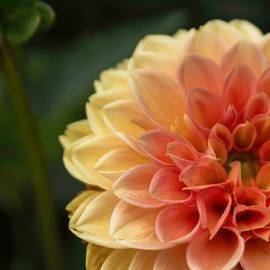 Arlene Carmel - Garden Dahlia