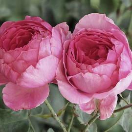 Ana Dawani - Garden roses