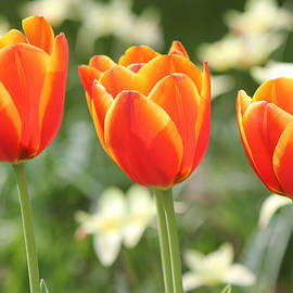 Paul Sturdivant - Garden Tulips