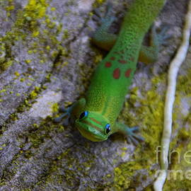 Jackson Kowalski - Gecko Smiles