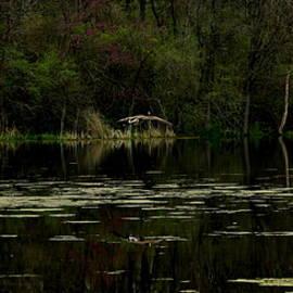 Earl  Eells a - Geese Landing by Earl