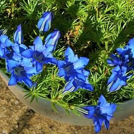 Nigel Radcliffe - Gentian Blue