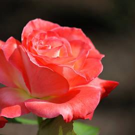 Teresa Wilson - Gentle Sunlight on a Rose