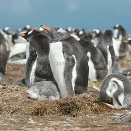 Dani Prints and Images - Gentoo penguins at Volunteer Point, Falkland Islands