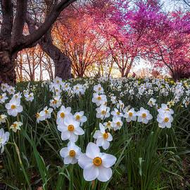 Mark Papke - White Daffodils