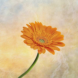 Larry Alford - Gerber Daisy