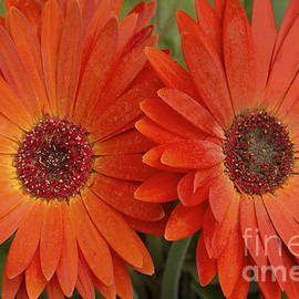 Regina Geoghan - Gerbera Daisies-Orange Delight