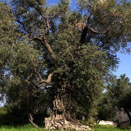 Colette V Hera  Guggenheim  - Giant Olive Tree Orgiva Spain