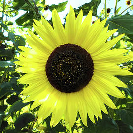 Nancy Spirakus - Giant Sunflower