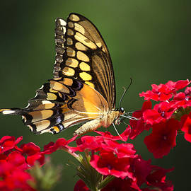 Christina Rollo - Giant Swallowtail Butterfly