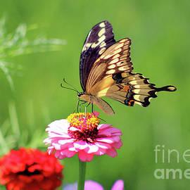 Karen Adams - Giant Swallowtail Butterfly on Pink Zinnia