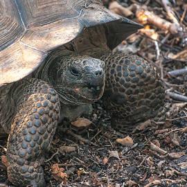 NaturesPix - Giant Tortoise at Urbina Bay on Isabela Island  Galapagos Islands