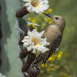 Saija  Lehtonen - Gila Woodpecker on Cactus