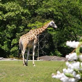 Warren Thompson - Giraffe and Blooms