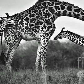 Blackwater Studio - Giraffe Family