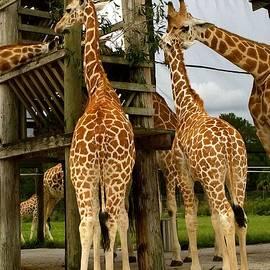 Maggie Vlazny - Giraffes at Lunch