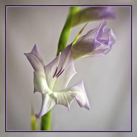 Robert Murray - Gladiolus