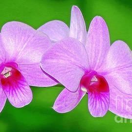 Sue Melvin - Glistening Orchids