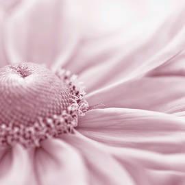 Sandra Foster - Gloriosa Daisy In Pink