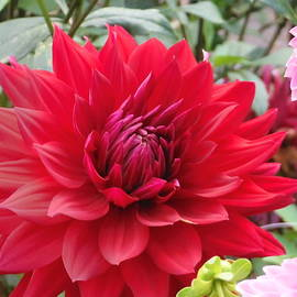 Suzanne McDonald - Glory Crimson Dahlia