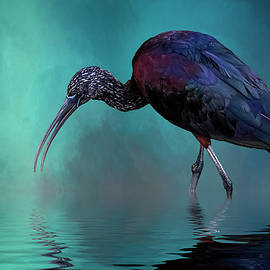 Cyndy Doty - Glossy Ibis Looking For Breakfast