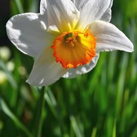 Mo Barton - Glowing Daffodil 1