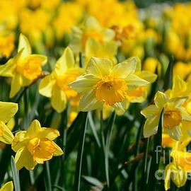 Kaye Menner - Glowing Daffodils by Kaye Menner