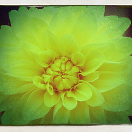 Beverly Canterbury - Glowing Dahlia