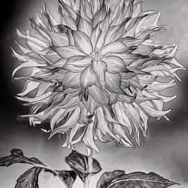 Claude LeTien - Glowing Dahlia
