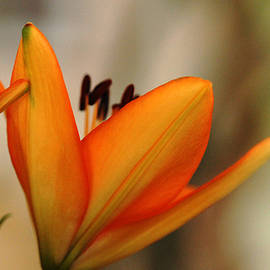 Debbie Oppermann - Glowing Lily
