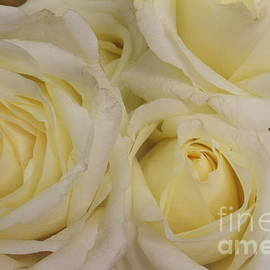 Photographic Art and Design by Dora Sofia Caputo - Glowing Peace Roses