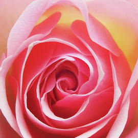 Johanna Hurmerinta - Glowing Rose 4