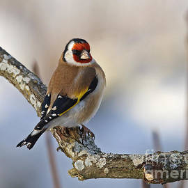 Mats Janson - Goldfinch