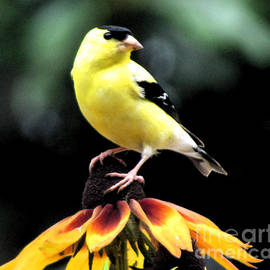 Gardening Perfection - Gold Finch