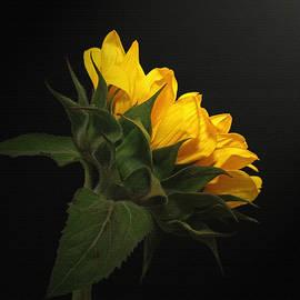 Judy Vincent - Golden Beauty