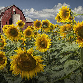 Randall Nyhof - Golden Blooming Sunflowers with Red Barn