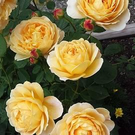 Sharon Duguay - Golden Celebration Rose