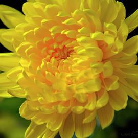 Brian Tada - Golden Chrysanthemum