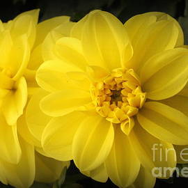 Dora Sofia Caputo Photographic Art and Design - Golden Dahlias