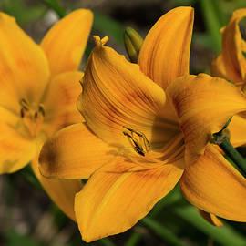 Bruce Frye - Golden Daylilies