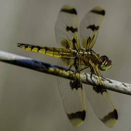 Linda  Howes - Golden Dragon Fly on Clothesline
